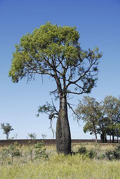 botte tree.jpg