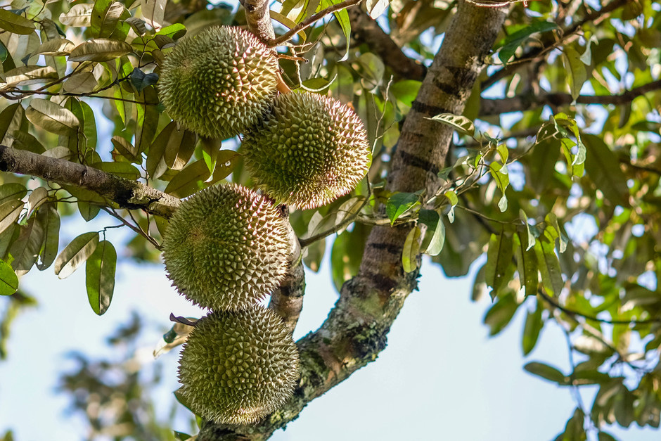 Durian output to increase to 443,000 tonnes in 10 years