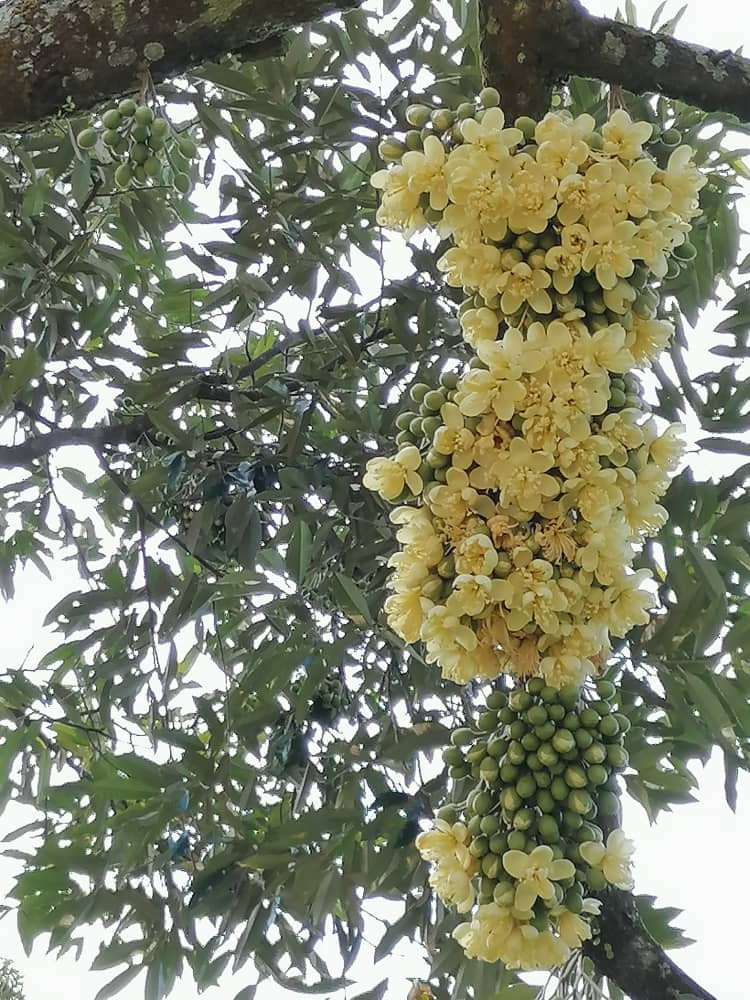 Durian Trees Are Prepares For The Harvest Season 榴梿树调养生息为迎产季做准备