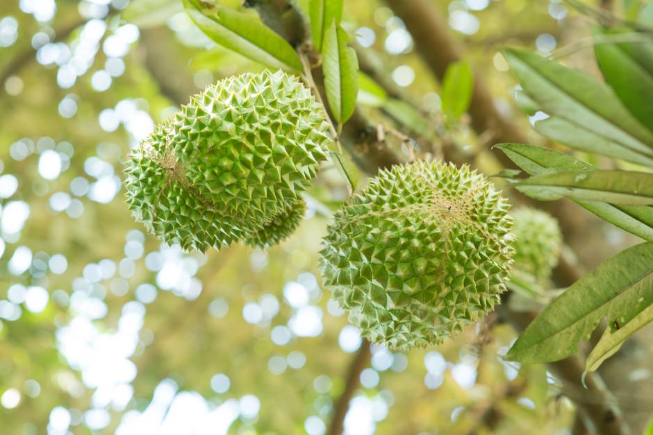 Sarawak allocates RM2.5 million for 50,000 Musang King durian trees