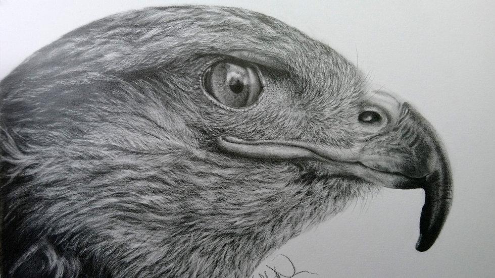 Original Drawing - Hawk