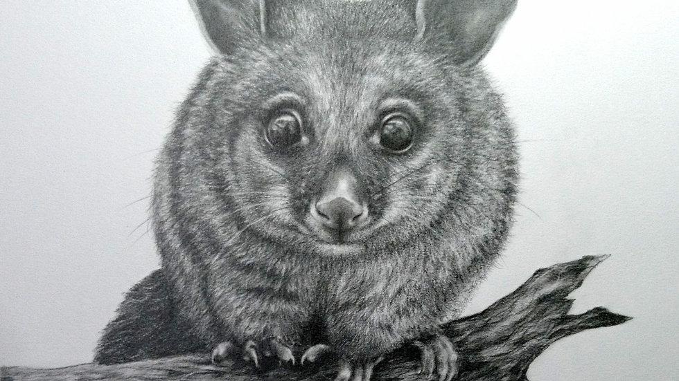 Original Drawing - Brush Tail Possum