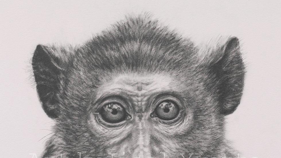 Rhesus Monkey - Giclee Fine Art Print