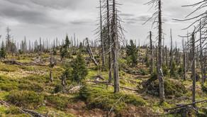 Dem deutschen Wald geht es schlechter als bisher bekannt
