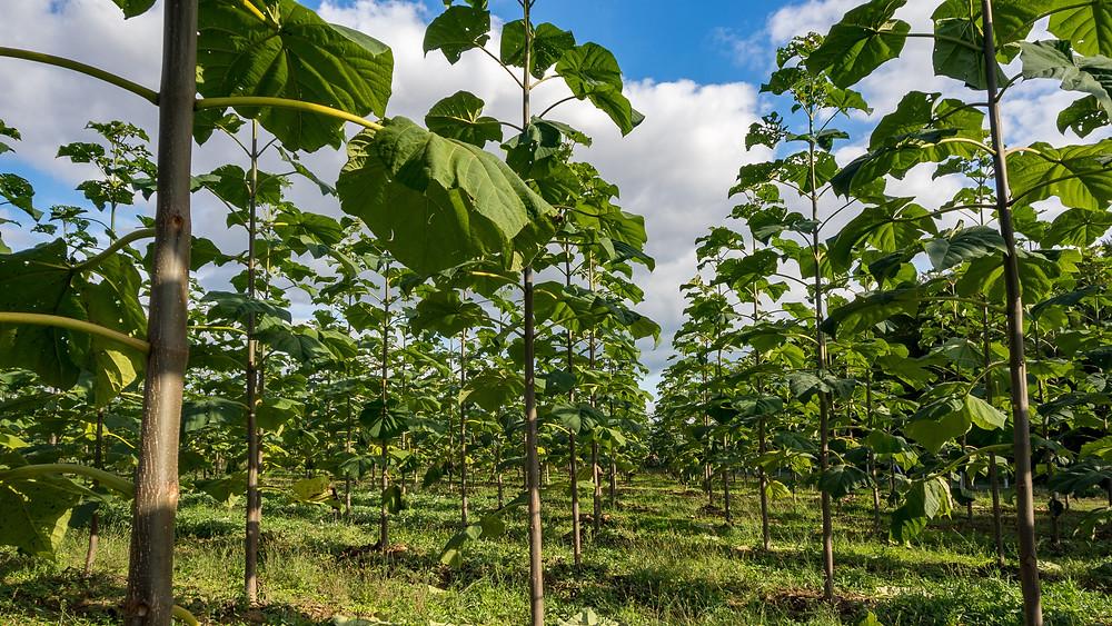 """Ab sofort können sich Kleinanleger auf der Plattform fairzinsung.com mit einem Investment in das """"Nachrangdarlehen MyKiriTree 2020/2027"""" an der nachhaltigen Produktion von Edelholz aus Kiribaum-Plantagen in Kroatien beteiligen."""