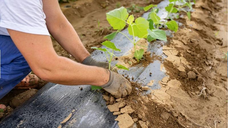Das Team von MyKiriTree pflanzt jeden Setzling sorgfältig per Hand. Diese werden zuvor im Biotechnologischen Institut in Slavonski Brod gezüchtet. So können wir für beste Qualität der Setzlinge garantieren.