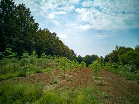 Paulownia Plantage | MyKiriTree