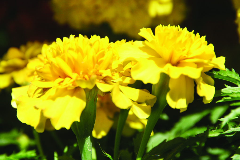 yellow marigolds.jpg