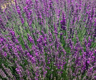 Lavender%20Fields_edited.jpg