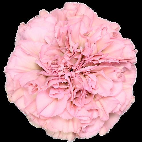 Legue Pink