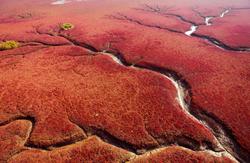 Suaeda marsh