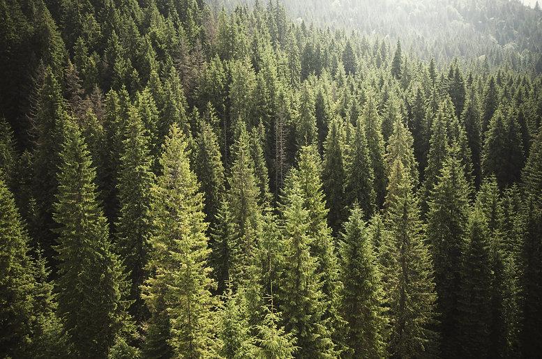 rays-pine-forest.jpg