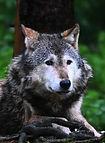 Wolf_00001.jpg