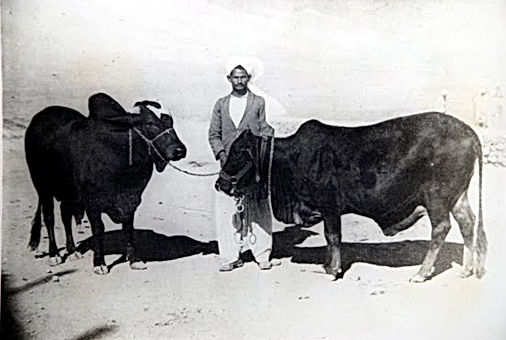 Bahia Red Sindhi - Gado Sindi na Bahia