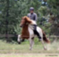 Icelandic horse, Sida, at a breeding evaluation
