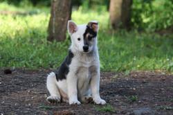 Koti - Icelandic Sheepdog