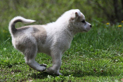 Dagur - Icelandic Sheepdog