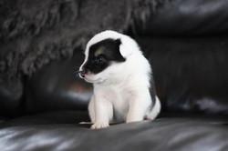 Koti - Icelandic Sheepdogle