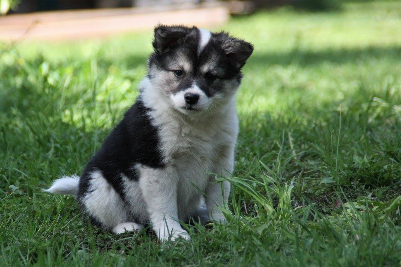 Sida - Icelandic Sheepdog