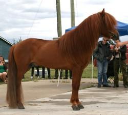 icelandic_stallion_flugar