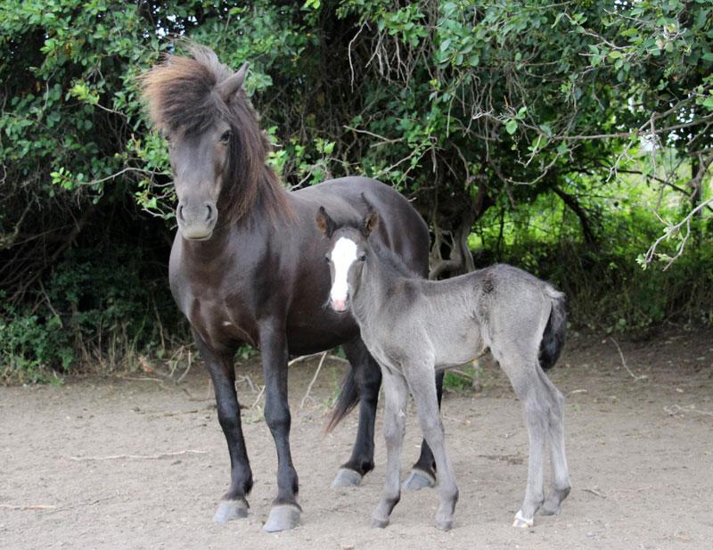 Tinni - Icelandic horse