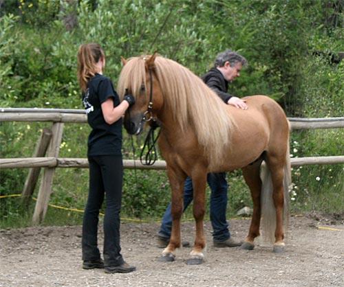 Icelandic stallions, Vernon, BC