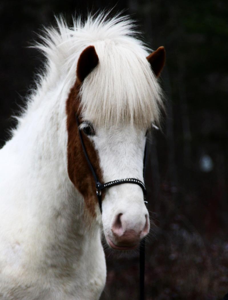 Hvitserkur - Icelandic Stallion