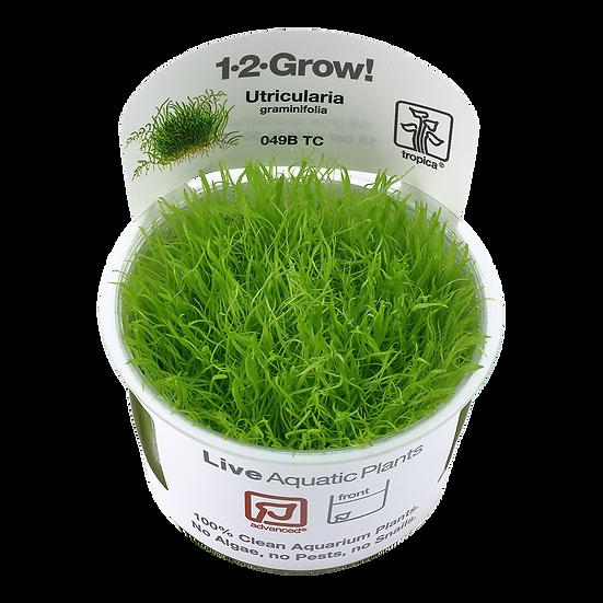 Utricularia graminifolia, Tropica 1-2 Grow