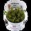Thumbnail: Rotala wallichii, Tropica 1-2 Grow