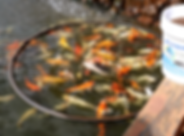 Koi Food.png
