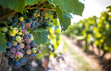 Vignes-grappe-Beaujolais-Eté-credits-GT-