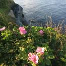 Wild Roses Newport RI