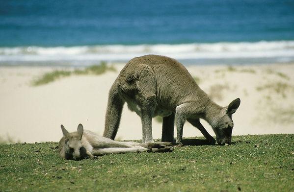 kangaroo-246777_1280.jpg