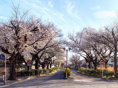 学芸大正門前の桜並木       2021年4月