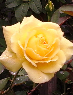 Yellow rose 8.5-11.jpg
