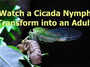 Cicada Transformation
