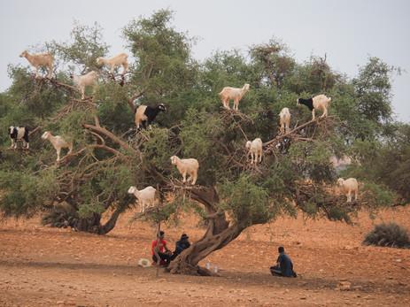 Goat Tree (Argan)