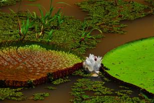 Victoria Reggia, Peruvian Amazones