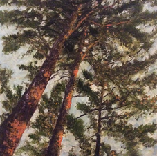 View of Tall Pines at Sunset From the Fi