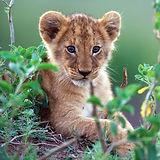 lion_cub_disney_nature-2048x2048.jpg