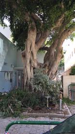 עץ הפיקוס לאחר הגיזום
