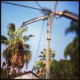 כריתת דקל וושינגטוניה מעל כבל חשמל