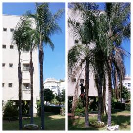 גיזום שלושה דקלי קוקוס בבניין משותף