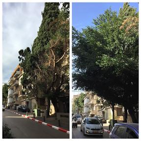 גיזום עצי פיקוס בתל אביב