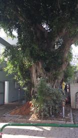 עץ פיקוס מרהיב בכניסה לגן ילדים