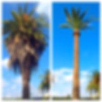 גיזום דקלים, ניקוי דקלים, גיזום דקל, ניקוי דקל, ניקוי דקלים מחיר, גיזום דקלים בתל אביב