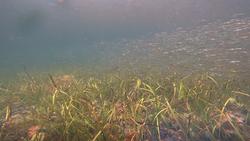 Eelgrass_underwater