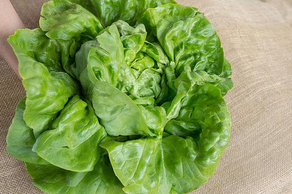 Lettuce, Adriana