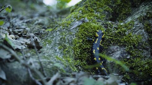 Foltos szalamandra, Budai-hegység