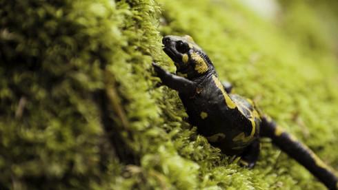 Foltos szalamandra, Aggteleki-karszt